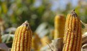 Se viene una campaña de maíz récord: 40 millones de toneladas